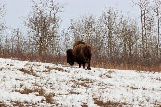 American Bison at Elk Island National Park
